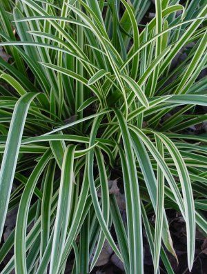 Image result for carex morrowii 'ice dance'
