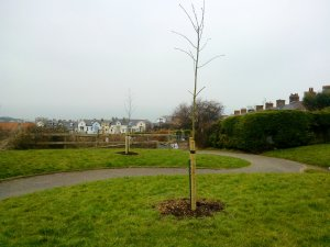 Newly planted trees in Ilfracombe.