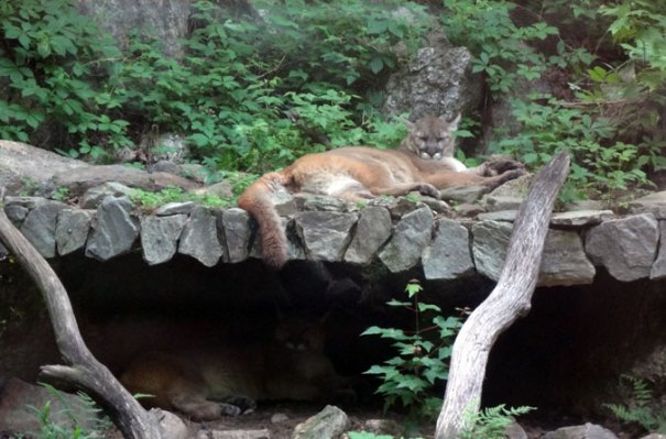A Mountain Lion at Squam Lakes Science Center
