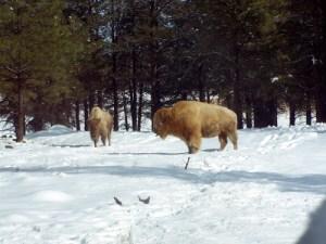 White Bison at Bearizona Wildlife Park.