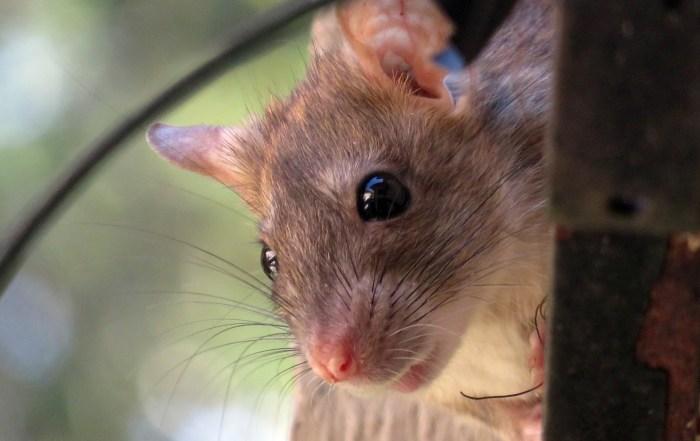 rat mice mouse rodent pest