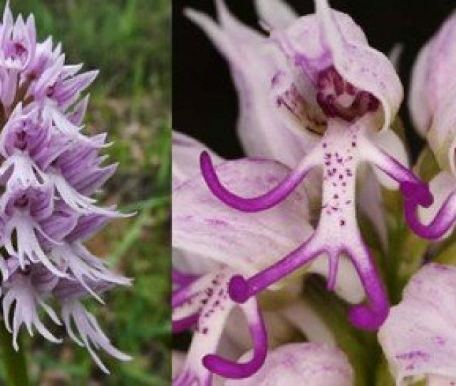Naked Man Orchid Orchis Italica Italian Orchid