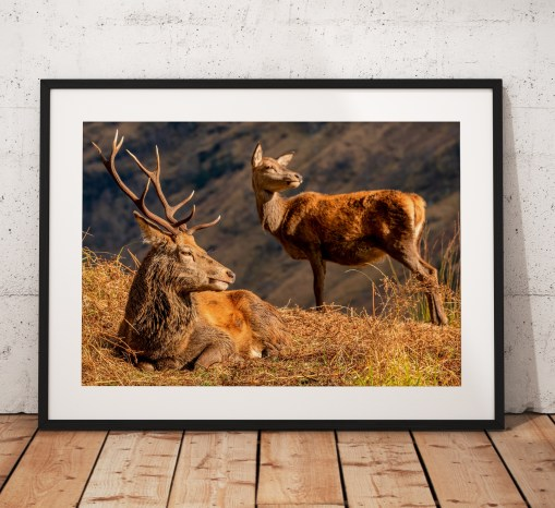 Stag and Doe Scottish Highlands