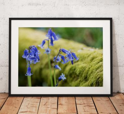 Wild Flower Photography, Bluebells, lake District, Moss, Woodland, Purple, Nature, Blue, England. Landscape Photo. Mounted print. Home Decor