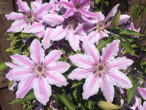 bloemen klimplant tuin