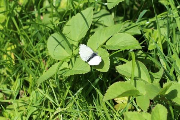 vlinder_ureterp