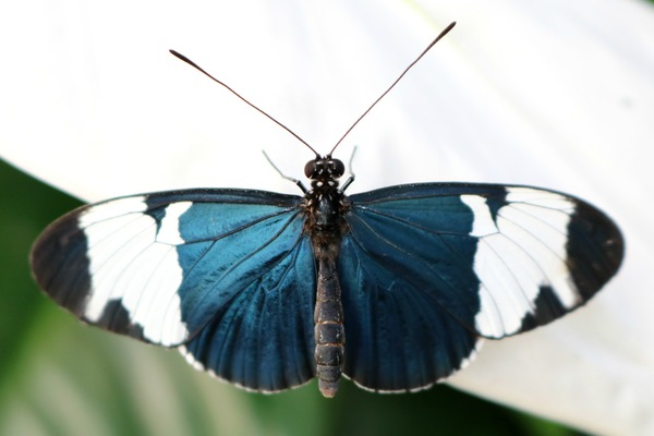 orchideeen_hoeve_luttelgeest_vlinder_blauw_wit