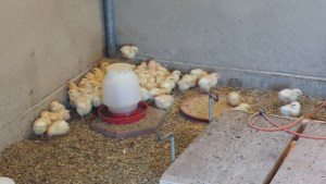 TLF raise hundreds of chickens each year; both meat birds and laying hens.
