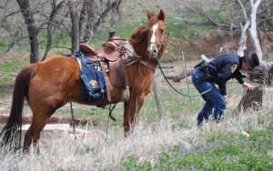 Larimer County Sheriff's Posse reserve deputy Scott Carter helps search for a discarded gun in Wellington.