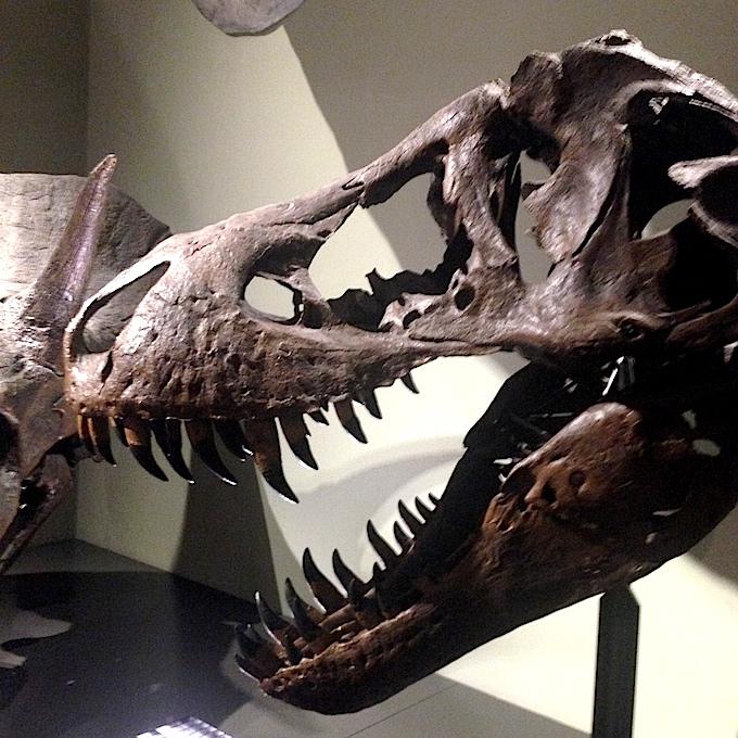 Vienna dino skull
