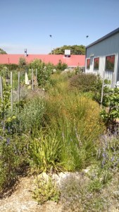Photo of the swale in full bloom at the North Perth Community Garden.
