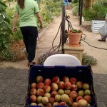 Photo of all the picked peaches with the garden in the background.