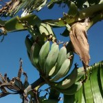 Photo of bananas growing in the orchard.
