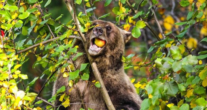https://i2.wp.com/www.northshoredailypost.com/wp-content/uploads/2019/09/bear-eating-apple.jpg?fit=790%2C421&ssl=1