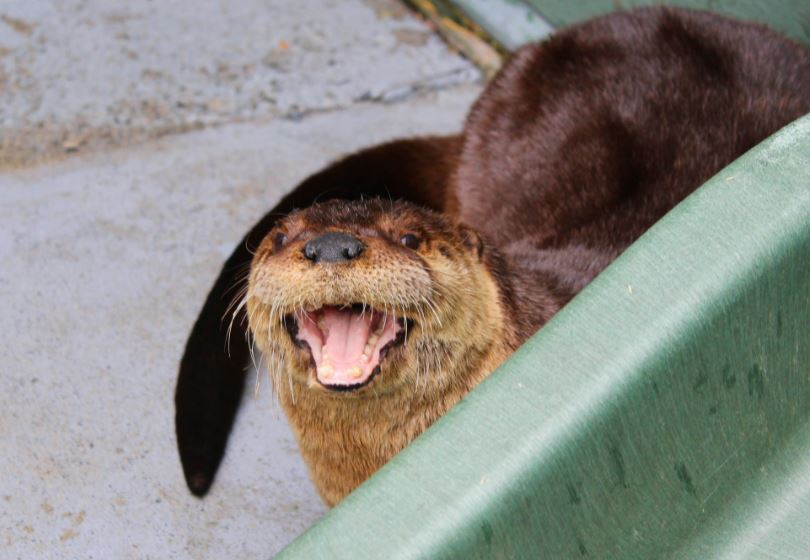 https://i2.wp.com/www.northshoredailypost.com/wp-content/uploads/2020/04/Otter.jpg?fit=810%2C560&ssl=1