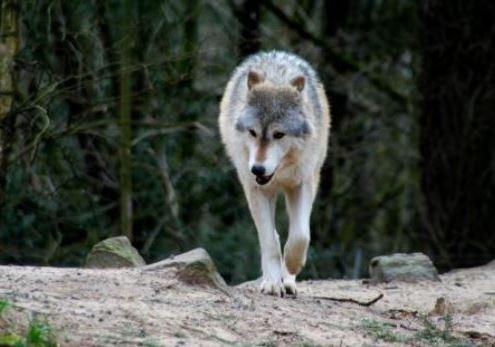https://i2.wp.com/www.northshoredailypost.com/wp-content/uploads/2020/06/wolf.jpg?fit=495%2C347&ssl=1