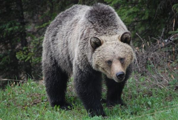 https://i2.wp.com/www.northshoredailypost.com/wp-content/uploads/2020/08/grizzly-@.jpg?fit=600%2C404&ssl=1