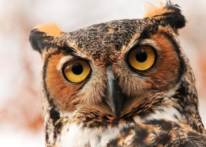 The Owls of Long Island