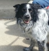 Handsome Border Collie available for adoption