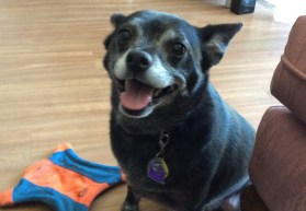 Lady is a pug-mixed wonderful sweetheart!