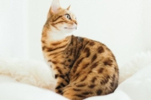 Hypoallergenic Cat Photo by Paul on Unsplash