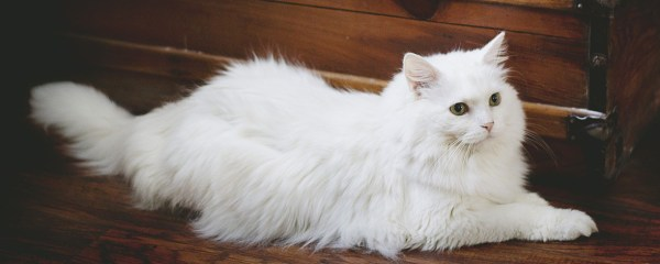The Wonder of White Cats
