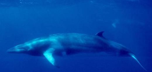 whaling quota - minke whale