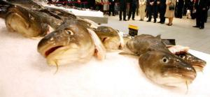 EU experts believe to see growth in cod stocks in the northern North Sea and Baltic Sea. Photo: Lise Åserud / SCANPIX
