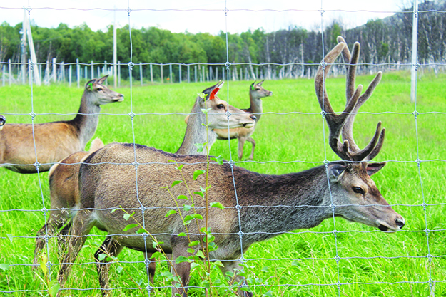 Photo: Whitney Love An adult male deer on the Torsvoll farm. Several hundred deer roam free here and feed on grass as well as treats provided by the Torsvoll family.