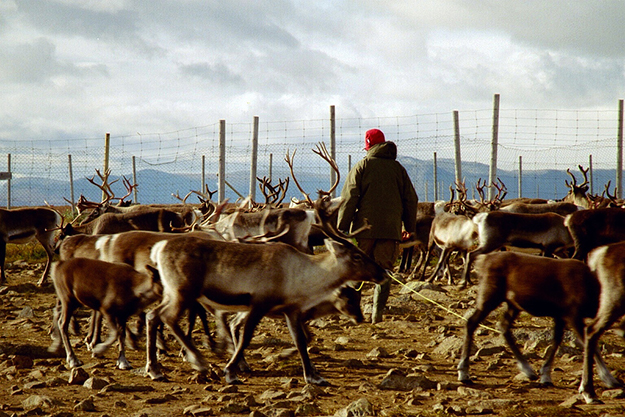 Photo: Mats Andersson / Flickr Norway's reindeer population must be dramatically reduced to avoid overgrazing.