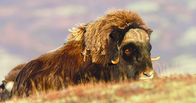 Photo: Asgeir Helgestad / Artic Light AS / Visitnorway.com A Muskox at rest in the Dovrefjell National Park. These impressive creatures can grow to 900 pounds.