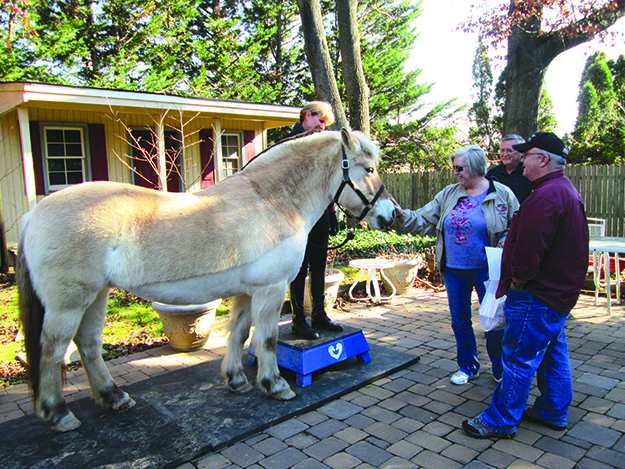 Photo: Christine Foster Meloni Bella greets visitors. Her dun coloring is by far the most common for fjord horses.