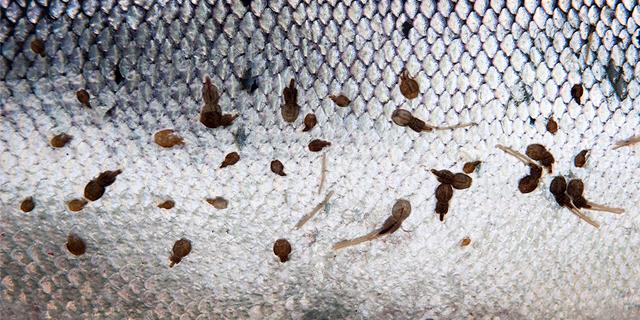 sea lice on a salmon