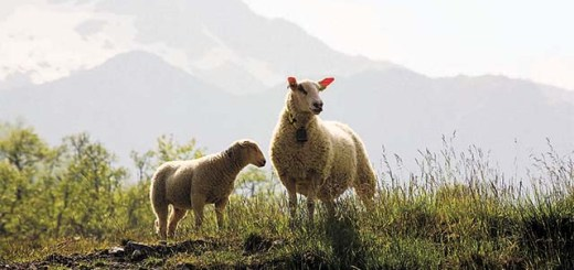 sheep in the Norwegian landscape