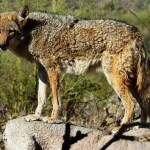 Close Encounters of the Coyote Kind