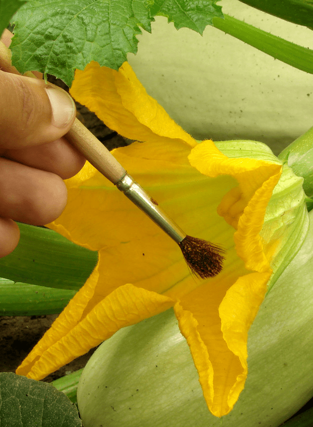pollination brush method