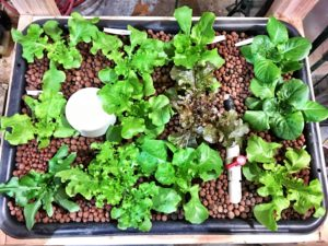 Hydroponic lettuce growing in garage ebb and flow system.