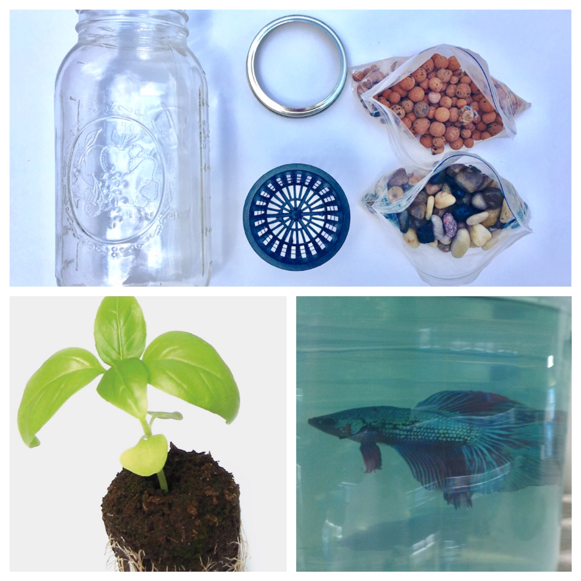 Bl system how many fish in a 55 aquaponics tank info - What You Need To Make A Glass Jar Aquaponics Herb Garden