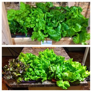 Harvested hydroponic lettuce