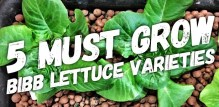 5 Bibb Lettuce Varieties You Need To Grow In Your Hydroponic Garden