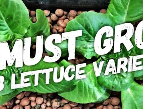 5 Bibb Lettuce Varieties You Need To Grow In Your Hydroponic Garden