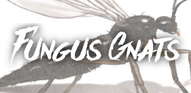 Diagnosing and Removing Fungus Gnats From Your Hydroponic Garden