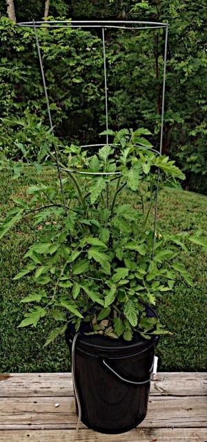tomato plant in 5 gallon hydroponic bucket