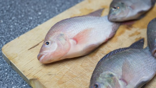 Choosing The Right Fish For Your Aquaponics System