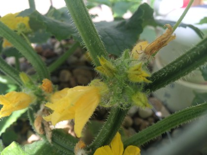 male cucumber flowers
