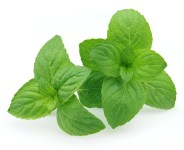 How To Grow Hydroponic Mint
