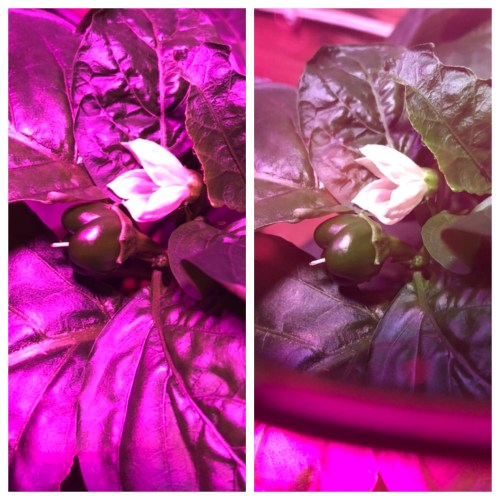 Hydroponic bell pepper with and without grow lights