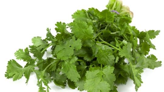 hydroponic cilantro