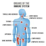 Noster Probiotics - Organs of the Immune System