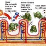 Good bacteria, Bifidobacterium bifidum in the GIT